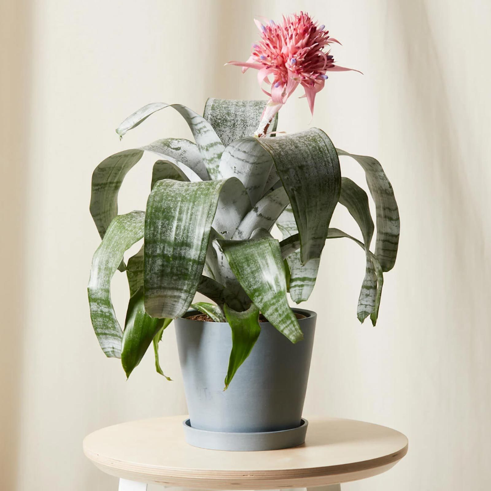 For the classic mom: Bloomscape Bromeliad Aechmea Pink Plant