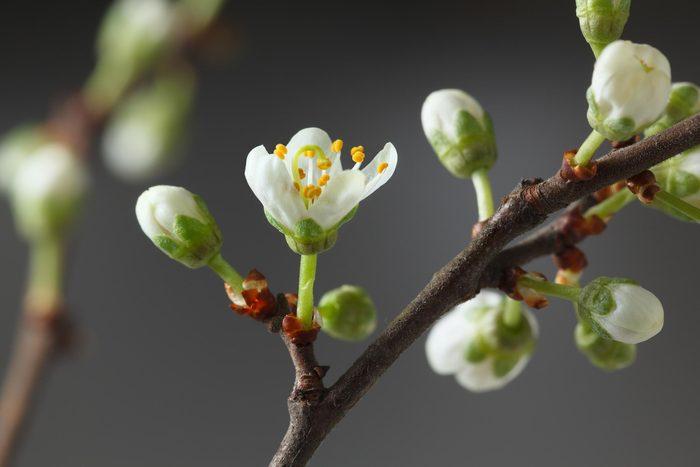 flower tree buds plant