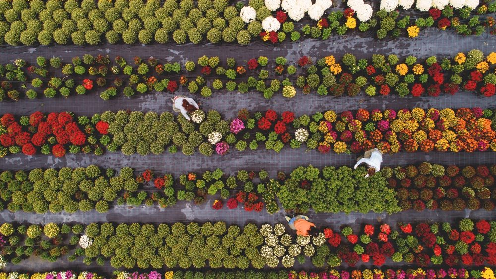 Flower field from above