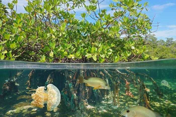 Mangrove above and below water surface, half and half, with fish and a jellyfish underwater, Caribbean sea