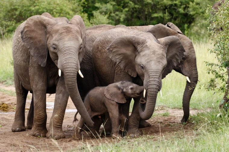 A family of elephants with a newborn little elephant