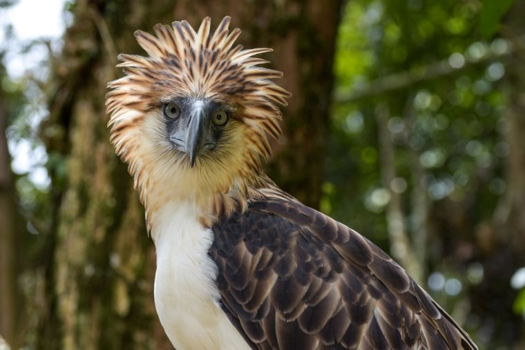The Philippine eagle (Pithecophaga jefferyi) is one of the most endangered bird species in the world. It is believed that less than 500 pairs survive in the wild.