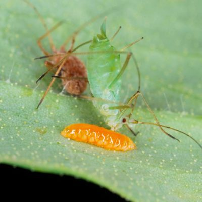 bugs that are good for your garden