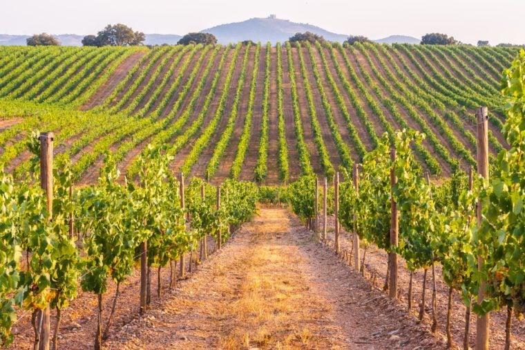 Vines in a vineyard in Alentejo region, Portugal, at sunset.