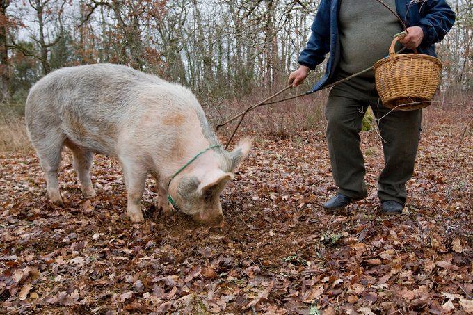Pig harvesting truffles