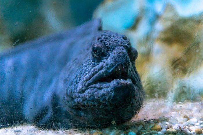 wolffish [family Anarhichadidae] behind dusty glass at sea life, fish looking at the camera
