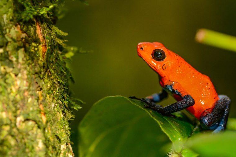 Strawberry Poison Dart Frog (Oophaga pumilio)