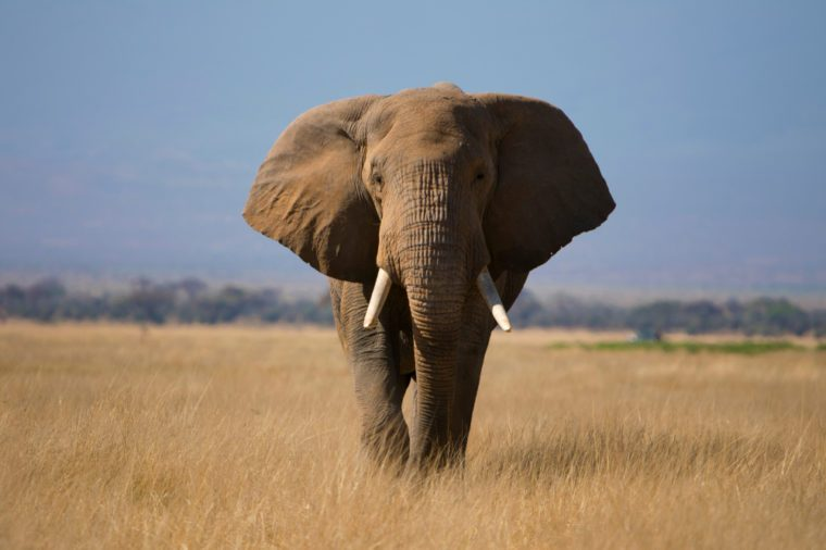 closeup view of Isolated African Elephant in the Amboseli National park , Kenya , Africa