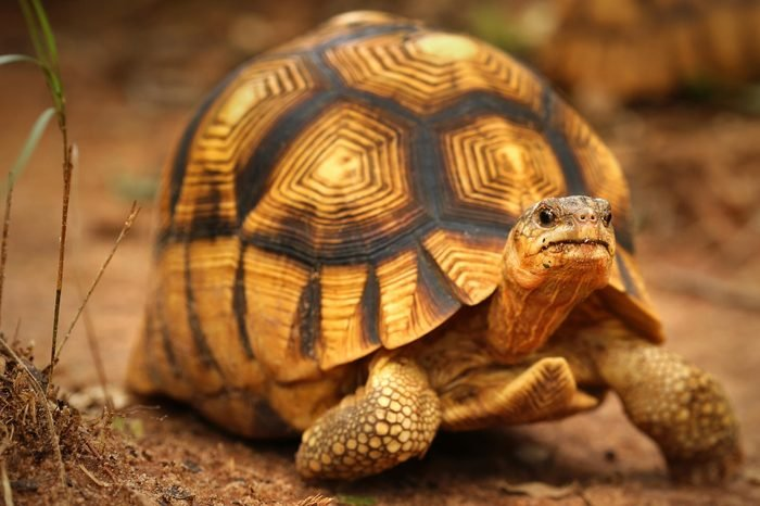 Angonoka or Ploughshare Tortoise (Astrochelys yniphora) in Madagascar. This is the most critically endangered tortoise in the world (~500 left in the wild). Extinction predicted in 10 years.