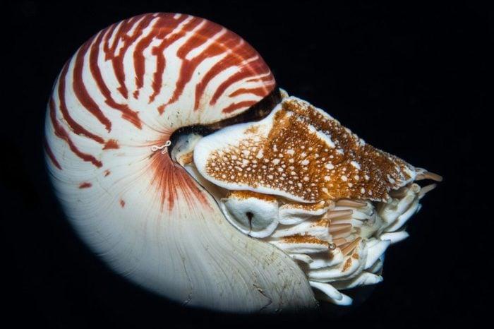A beautiful Nautilus