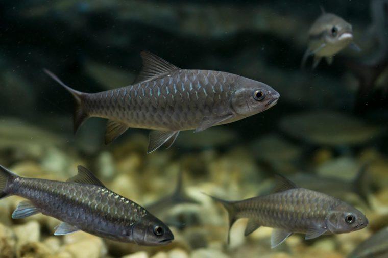 soro brook carp fish in aquarium. Wildlife animal.