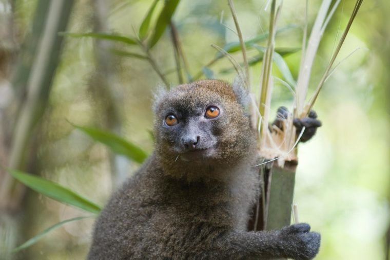 Greater Bamboo Lemur (Hapalemur simus). Critically endangered and endemic to southeastern Madagascar. Ranomafana National Park, Ranomafana, Madagascar.