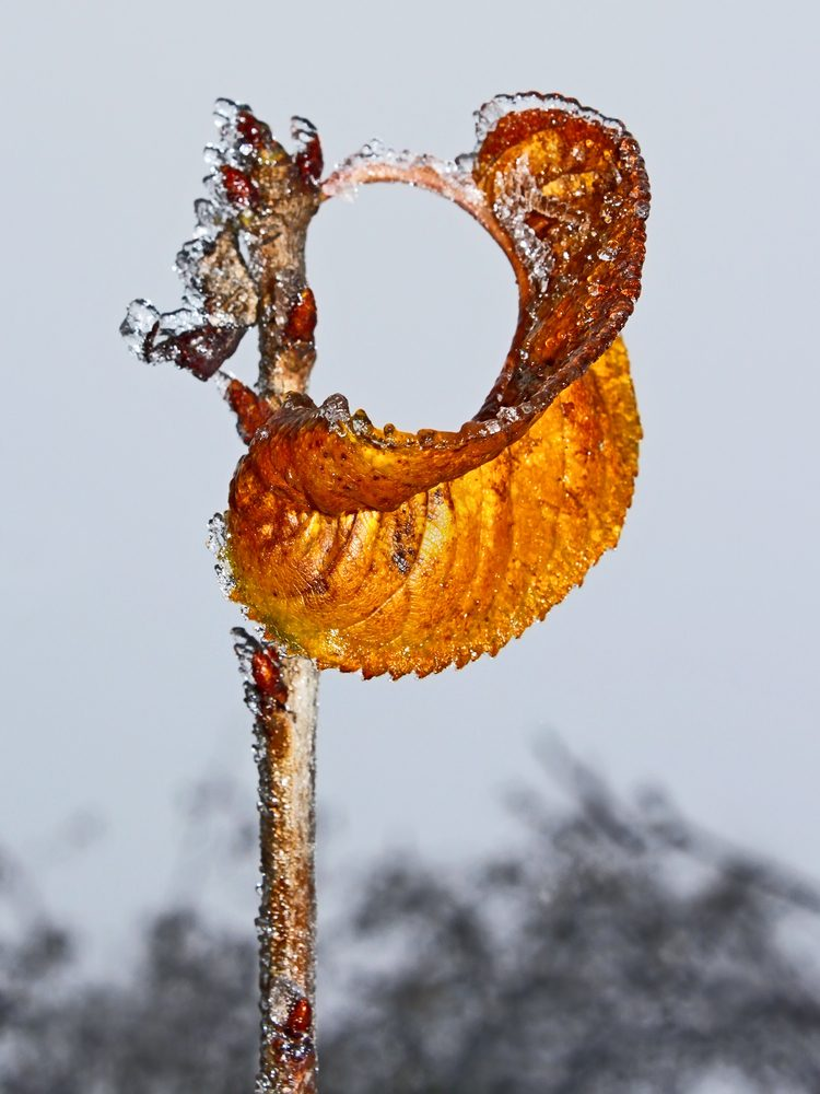 Lonely curled yellow cherry leaf covered with rime hanging on a branch against winter sky