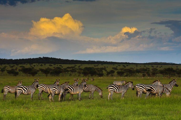 Zebra Herd at Sunset in Singita Grumeti Reserves