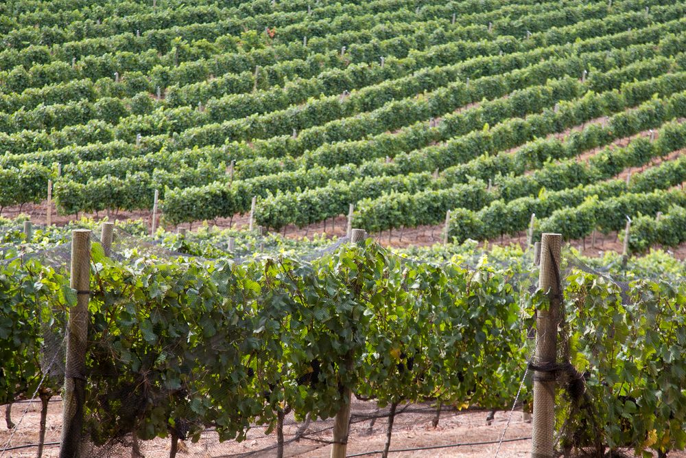 hermanus cultivation for wine grapes