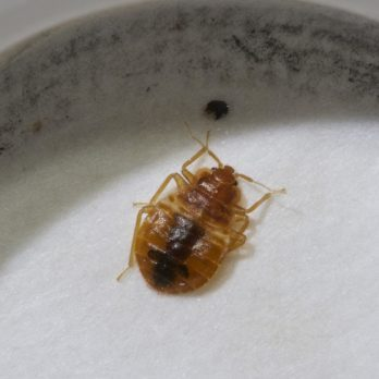 Can Bed Bugs Fly?