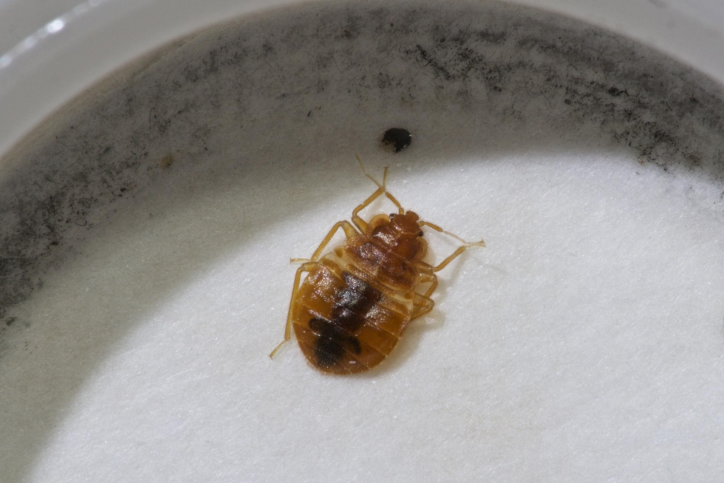 pictures of bed bugs - HD2400×1601