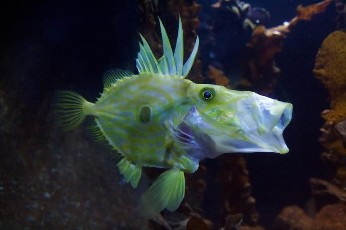 Congiopodidae, commonly known as pigfishes, horse-fishes and racehorses.