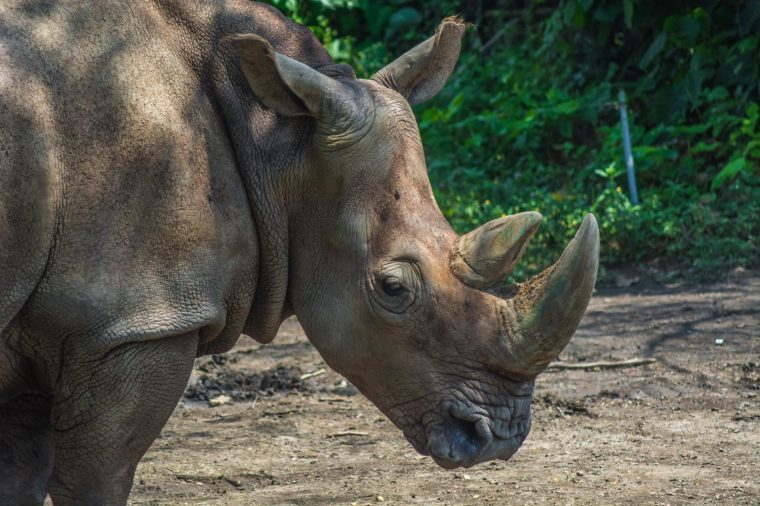 Sumatran Rhinoceros Close Up