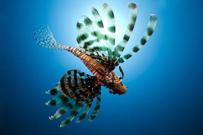 lionfish,sun and ocean