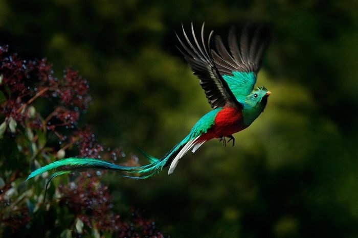 Flying Resplendent Quetzal, Pharomachrus mocinno, Savegre in Costa Rica, with green forest in background. Magnificent sacred green and red bird. Action flight moment with Resplendent Quetzal.