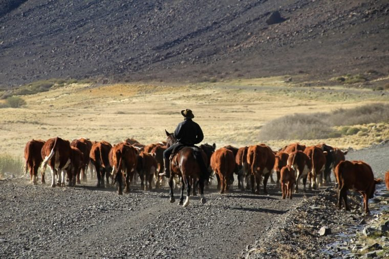 Gauchos and herd of cows, Patagonia, Argentina