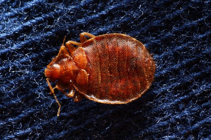 Bed bug on pillowcase