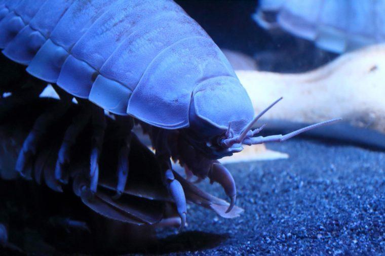 Giant Isopod up close