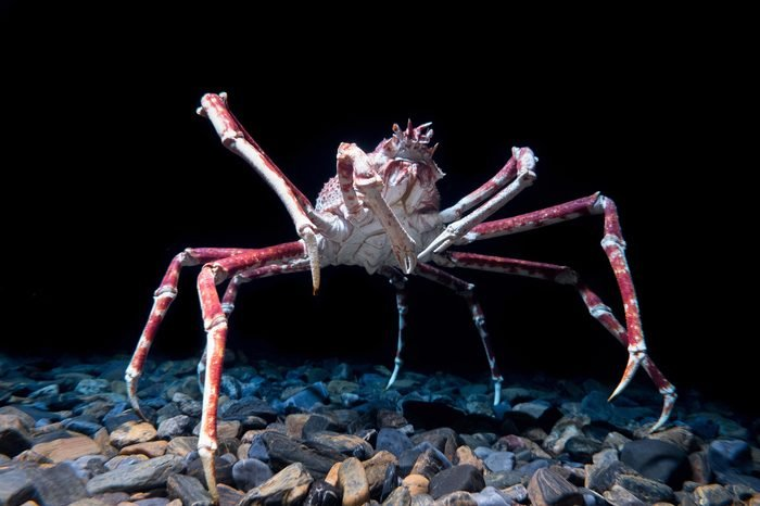 Giant Spider Crab on black background