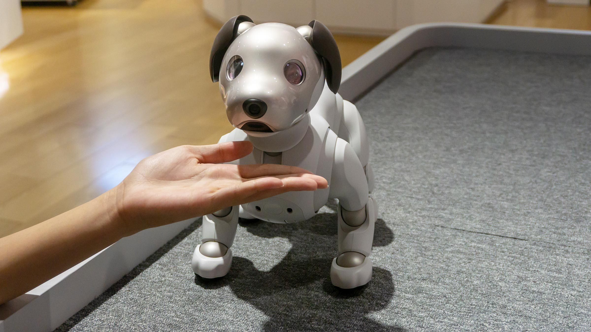 Tokyo, Japan - August 2018: Unidentified woman playing with Aibo during a demonstration in Sony Showroom in Tokyo