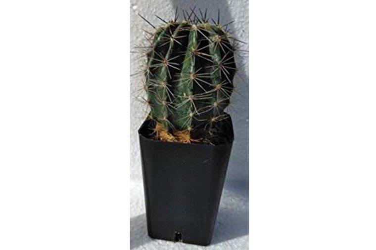 03_Arizona--Saguaro-cactus