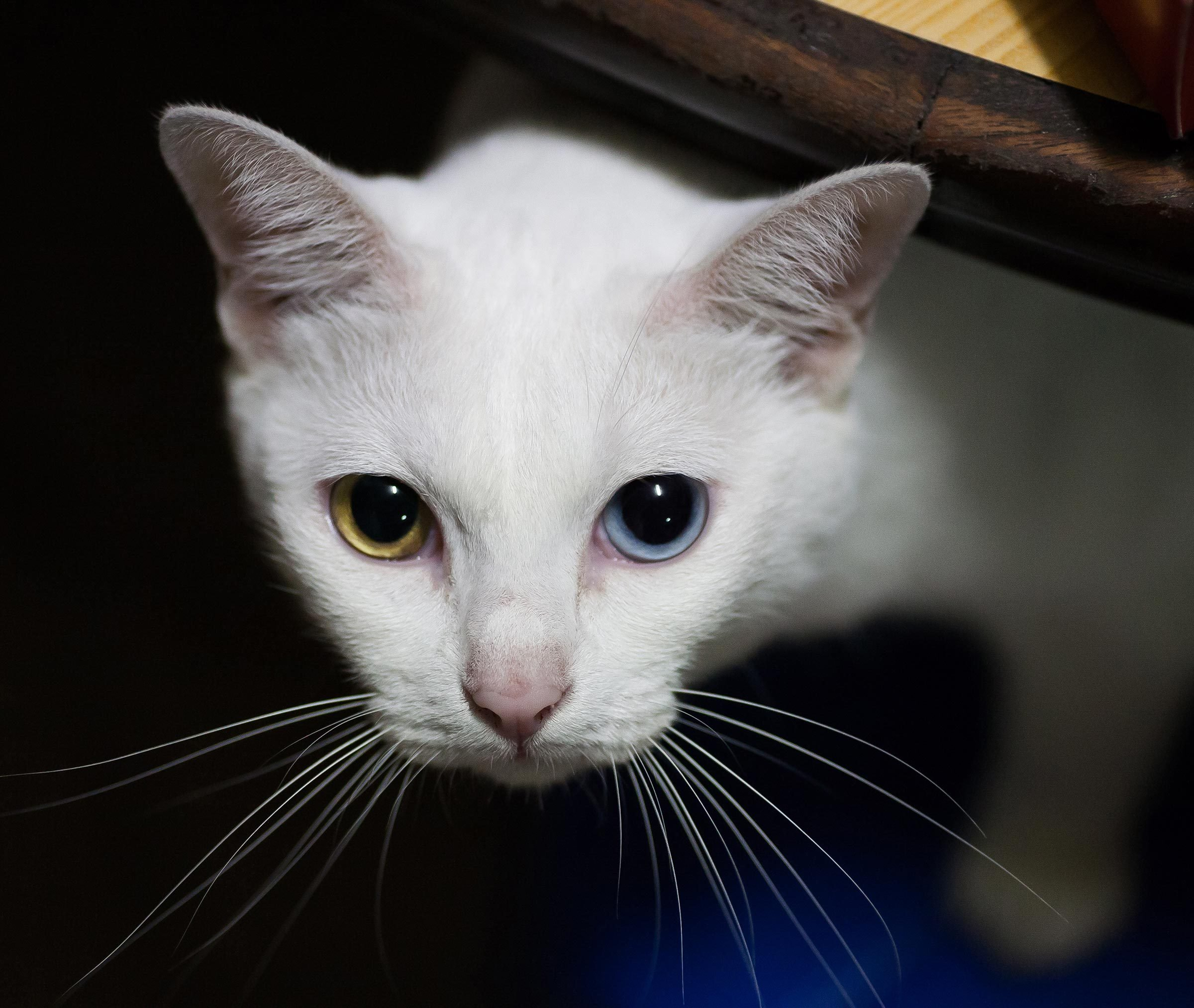 Pure White Cat with odd eyes , Khao Manee cat, Diamond Eye cat , This is rare cat breeds and very cute in Thailand.