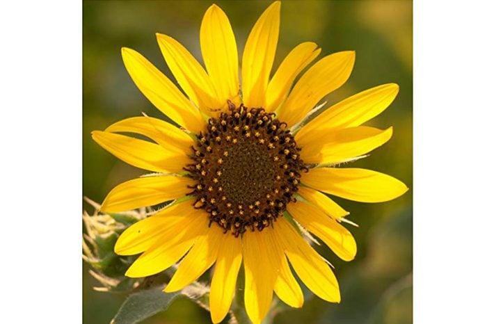 16_Kansas--Sunflowers