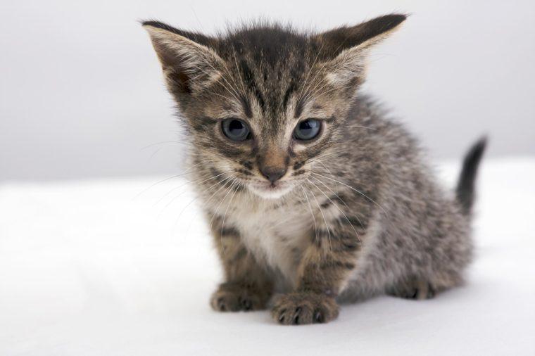 VARIOUS Ocicat kitten