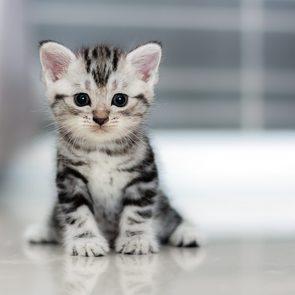 Cute American shorthair cat kitten