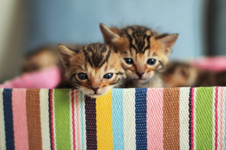 Bengal kittens sitting in colorful gift box