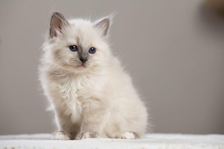Sacred Birman kitten, birma Cat