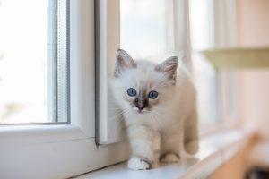Sacred Burmese kitten
