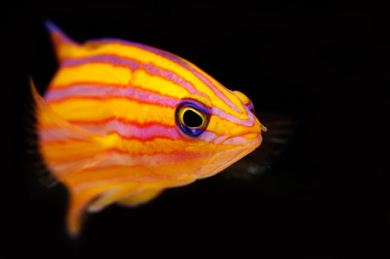 Candy Basslet (Liopropoma carmabi)