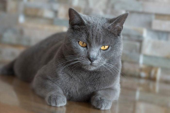 Chartreux cat look