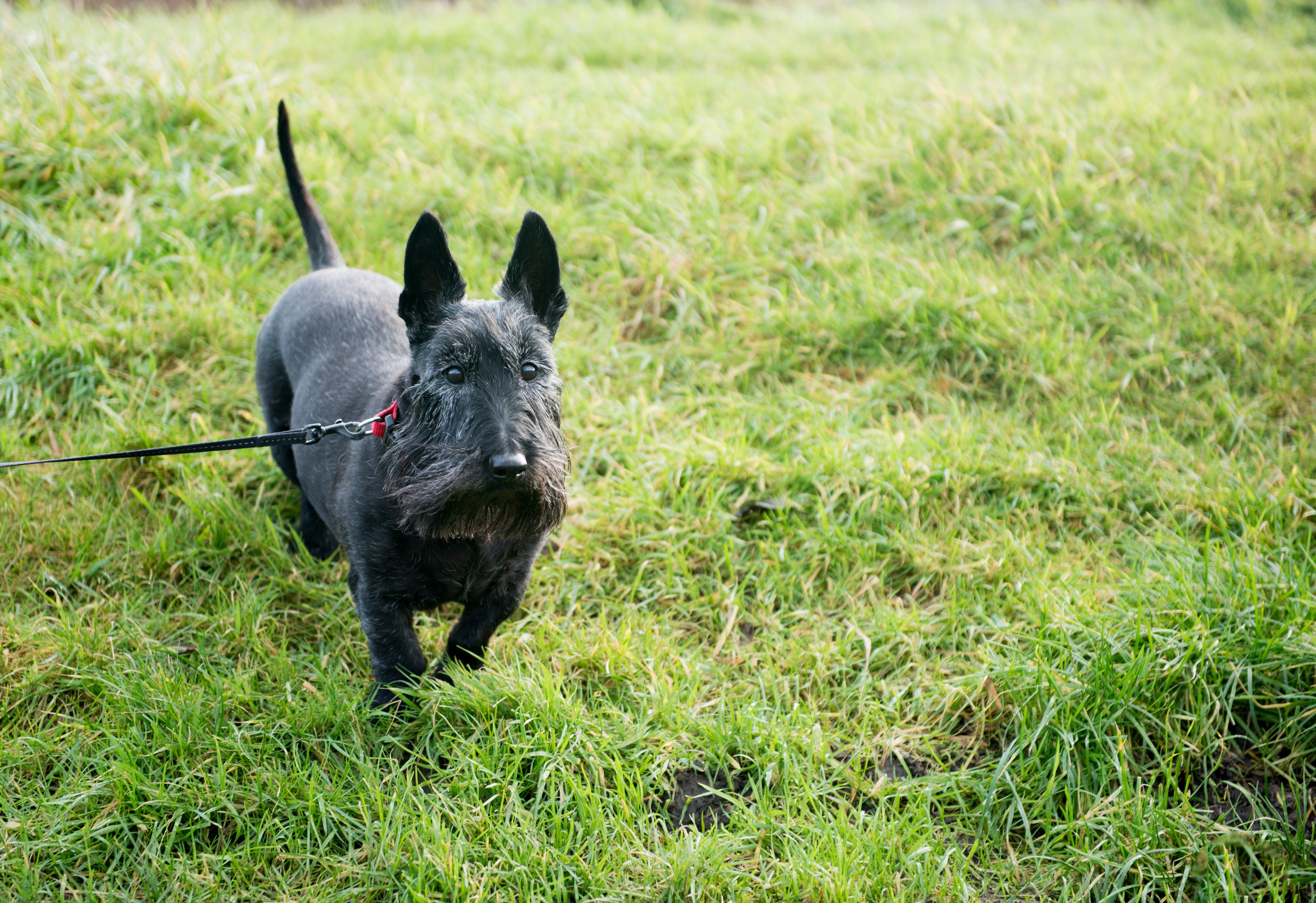 Cute black Scottish Terrier dog on green grass, taken with copy space