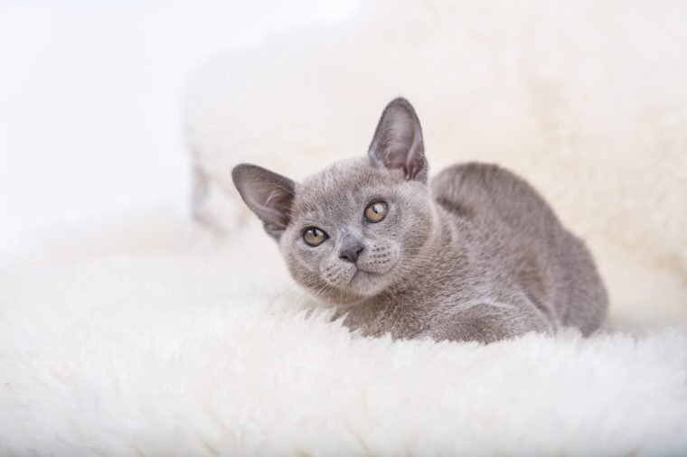 European Burmese cat gray kitten ,sitting on the white fur