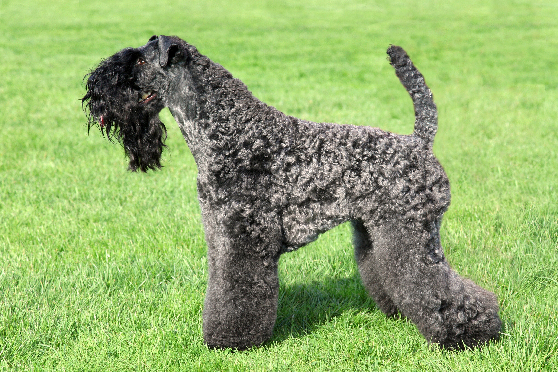 Kerry Blue Terrier standing on the green grass