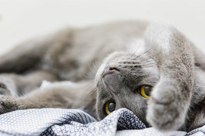 close up Domestic (siam thai cat ) Korat cat resting with selective focus