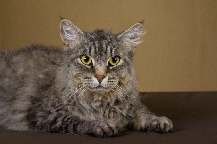 Champion LaPerm cat on bronze background fabric