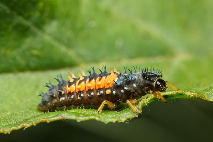 Macro side view on ladybird (Coccinella septempunctata) weird spiny larva hunting on green leaf