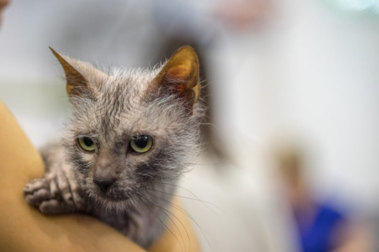 Lykoi cat -Werewolf Cat - Pedigree Cat
