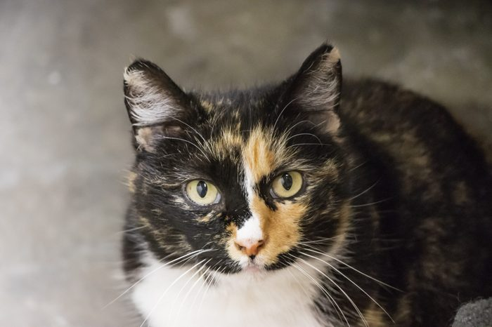 Manx cat is a unqiue breed with no tail. A brown, yellow and white color of a cat with no tail image.