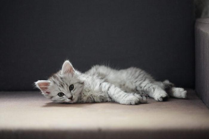 Norwegian Forest Cat / Siberian