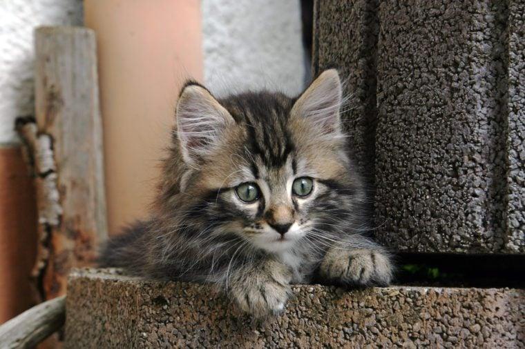 A small cute Norwegian forest cat in a flower pot